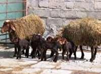 اجرای موفقیت آمیز طرح دوقلوزایی هزار گوسفند در گالیکش