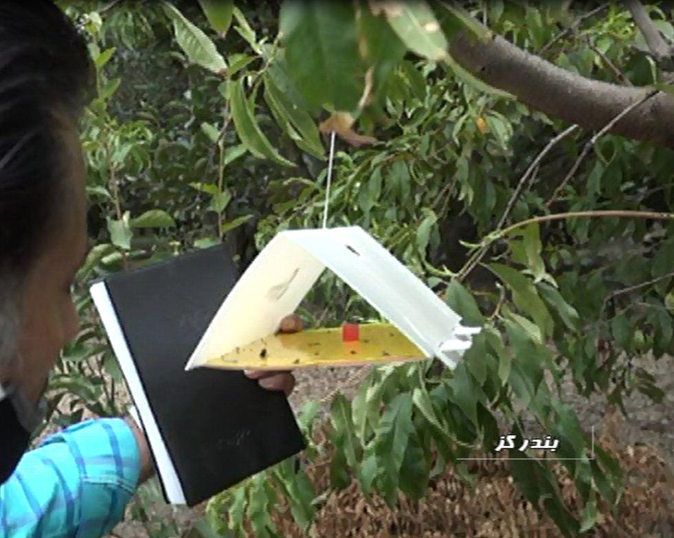 پرواز نابودگر مدیترانه ای در باغهای گلستان