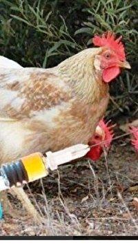 واکسینه رایگان طیور بومی در گلستان